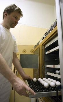купить инкубационное яйцо