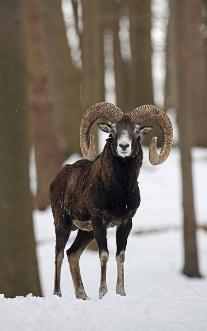 Разведение европейского муфлона